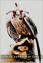الصورة الرمزية صقر الأزد